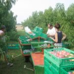 fruit harvesting crates